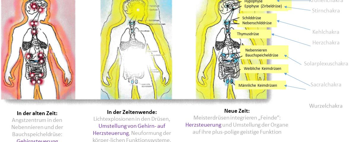 Berühmt Funktion Der Endokrinen Drüsen Zeitgenössisch - Menschliche ...